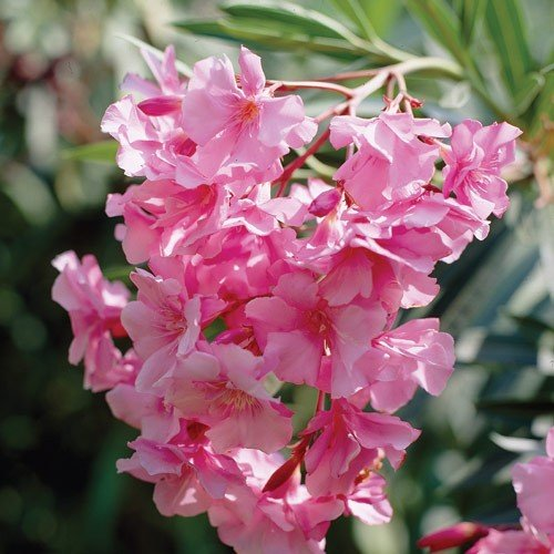 how to grow oleander from seed