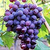 Vivai le georgiche uva da tavola nera muscat bleu amazon - Vivai uva da tavola ...