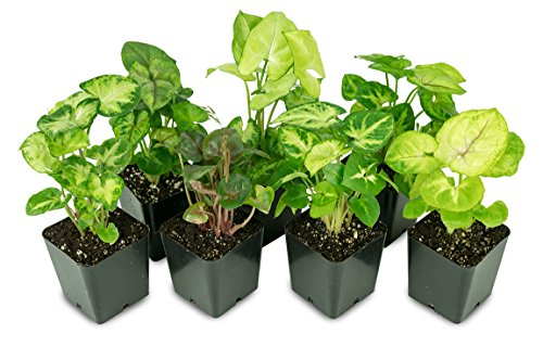 Syngonium Plant Bundle 3-Pack by Josh's Frogs
