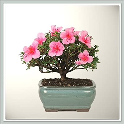 Azalea Bonsai Tree I | Nursery Direct From Joebonsai : Bonsai Plants : Grocery & Gourmet Food