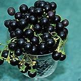 Wonderberry Seeds ~Solanum retroflexum~ Burbank's Sunberry ~ Garden Huckleberry ~ (Solanum retroflexum Formerly