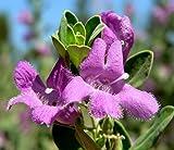 50 SEEDS Green Leucophyllum frutescens Texas Ranger Sage Cenizo Leaf Cloud