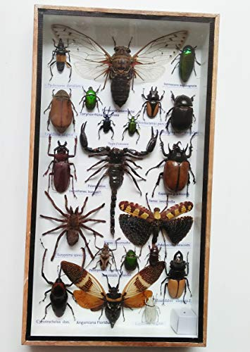 Real Rare Big Set Insect Insects Box Display Taxidermy Framed Centipede Jewel Beetle Spider Cicada Xylotrures Collectible Entomology Home Decoration Gift Handmade Bug Bugs Glass Wood Wooden 3D ()