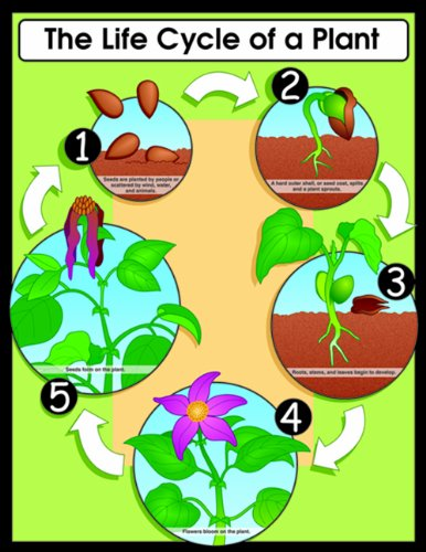 Carson Dellosa The Life Cycle of a Plant Chart (6358) (Classroom Science Plant)