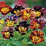 NEW! 25+ BRUSH STROKES VIOLA FLOWER SEEDS MIX / SHADE PERENNIAL