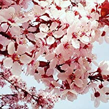 Japanese Sakura Seeds Bonsai Flower Cherry Blossoms Cherry Tree Ornamental Plant 10 Seeds (Item No: 16)
