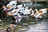 DUCKS ON A POND by Alexander Koester river lake birds landscape Tile Mural Kitchen Bathroom Wall Backsplash Behind Stove Range Sink Splashback 6x4 4.25'' Ceramic, Glossy