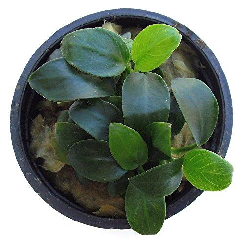 substratesource-anubias-barteri-petite-live-aquatic-aquarium-plant