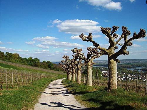 (Home Comforts Canvas Print Vineyards R??desheim Am Rhein Spring Plane Trees Vivid Imagery Stretched Canvas 32 x 24)