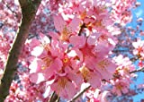 1 Okame Flowering Cherry Tree