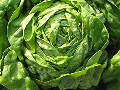 Lettuce, Butter-crunch Lettuce Seeds Organic Non GMO Seed (2000 Seeds)fresh Salad