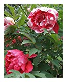 Paeonia suffruticosa - Tree Peony - 4 seeds