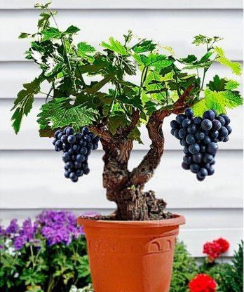 Miniature Grape Vine Seeds - Patio Syrah - Vitis Vinifera - Houseplant - 50 Seeds - Fruit Bonsai Seeds