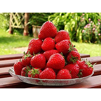100 Seascape Ever Bearing Strawberry Plants - Certified Healthy Bare Root Plants : Garden & Outdoor