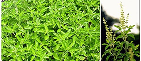Holy Basil (2400 Seeds) Seeds - 1 Package From Thailand - Island Company Blue Oxford