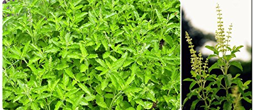 Holy Basil (2400 Seeds) Seeds - 1 Package From - Glasses Wilkie