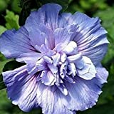 "Plant Blue Chiffon Hibiscus Syriacus Notwoodthree Rose of Sharon Proven Winner 4"" Pot #NS01YN"