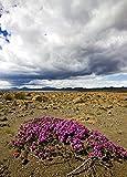 Wild Thyme (Thymus praecox) in rocky landscape, Iceland 30x40 photo reprint