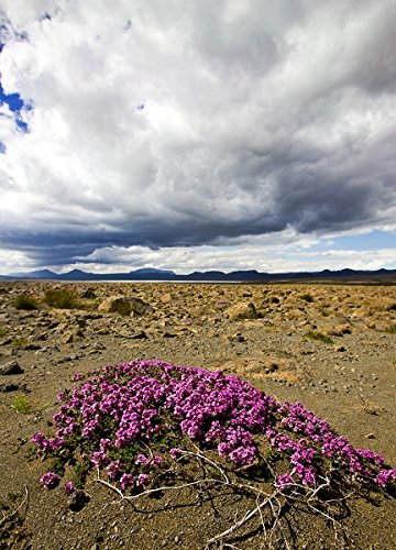 Wild Thyme (Thymus praecox) in rocky landscape, Iceland 30x40 photo reprint by PickYourImage