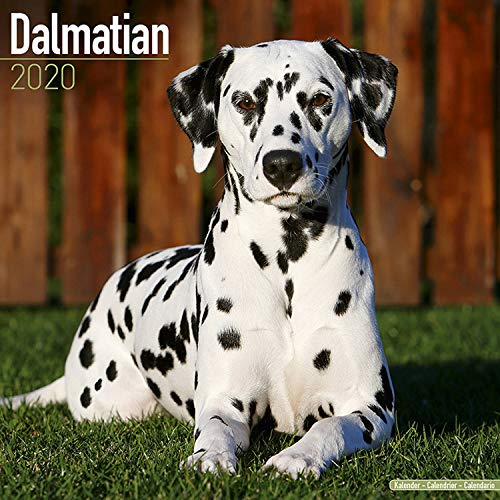 (Dalmatian Calendar 2020 - Dog Breed Calendar - Wall Calendar 2019-2020)