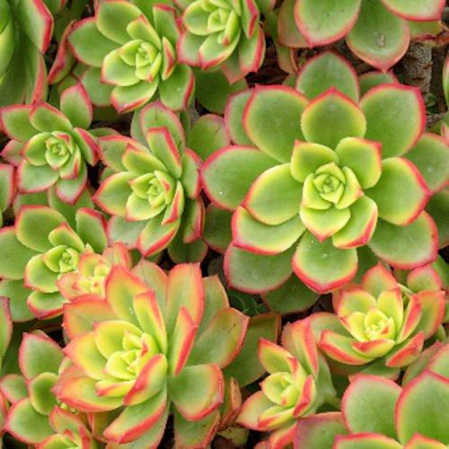 Aeonium Kiwi Succulent Plants Bell Shaped Flowers (2 - Shaped Flowers Bell