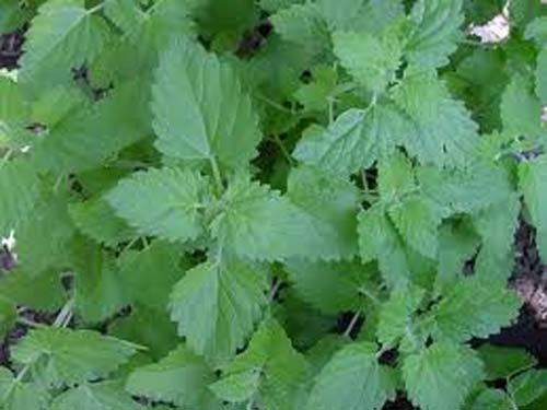 Catnip Great Garden Herb Cats Love It by Seed Kingdom Bulk 1 Lb Seeds