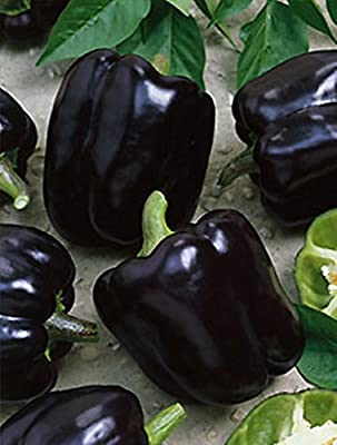 Rare Sweet Pepper Chornyy Kon - Black Horse Organic Heirloom Vegetable Seed Pack