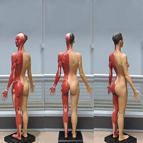 HITSAN 60CM PU Standard Model of Female Human Anatomy Muscle Color One Piece