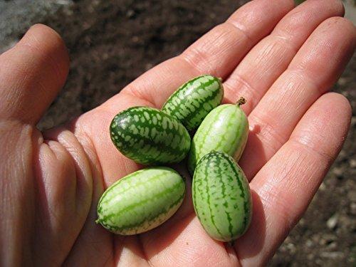 (Watermelon Seeds - MOUSE MELON - Mexican Gherkin - Heirloom Cucumber -10 Seeds)