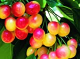 Rainier Cherry Tree Seeds - 20 Cherry Seeds - Qualityseeds4less Exclusive