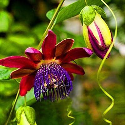 wpOP59NE 100Pcs Passiflora Passion Fruit Flower Seeds Bonsai Yard Garden Plants Growing - 2 Plant Seeds : Garden & Outdoor