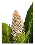 Sago Palm Tree Seed Cycas Revoluta Tropical 10 Seeds!