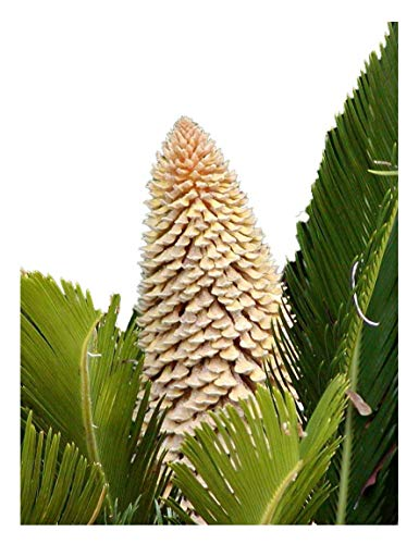 (Sago Palm Tree Seed Cycas Revoluta Tropical 10 Seeds!)