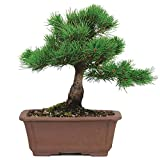 Brussel's Bonsai Japanese Five Needle Pine