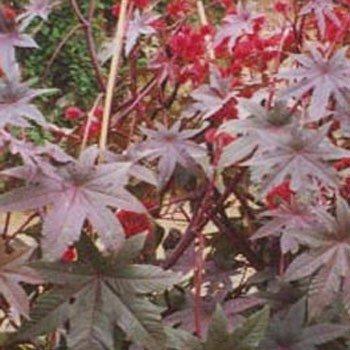 - Outsidepride Impala Ricinus Communis Castor Bean Plant Seed - 50 Seeds
