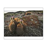 10x8 Print of Hedgehog Cactus (Echinocereus sp.) budding in granite hills, southwestern (13972947)
