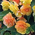 50-Pieces Zixed Beautiful Begonia Flower Seeds