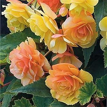 50-Pieces Zixed Beautiful Begonia Flower Seeds