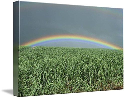 Rainbow Over Sugar Cane - Imagekind Wall Art Print entitled Hawaii, Brilliant Rainbow Over Fields Of Sugarcane by Design Pics | 10 x 7