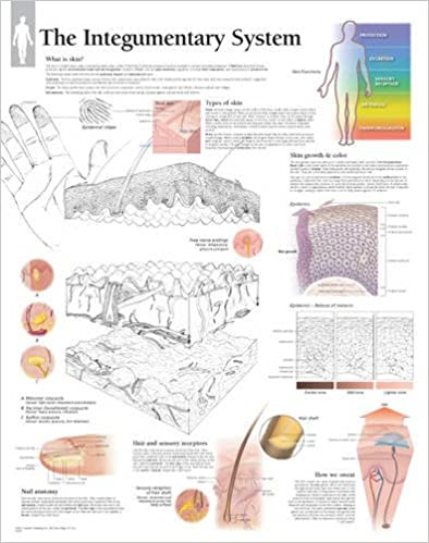 integumentary system chart