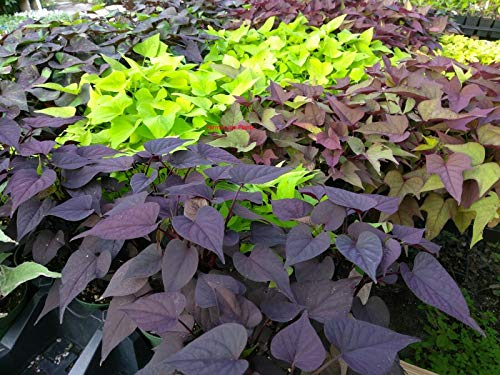 (Ipomoea - Sweet Potato Vine - Random Mix Colors - 6 Live Starter Plants - Plugs)