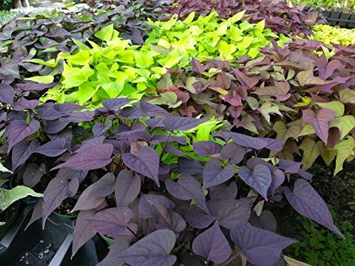 Ipomoea - Sweet Potato Vine - Random Mix Colors - 6 Live Starter Plants - Plugs