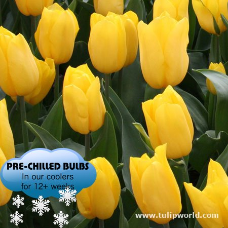 Pre-chilled Yellow Tulips - Yellow Forced Tulips - 15 Bulbs