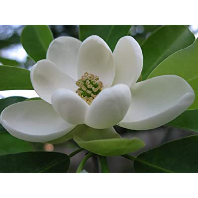 Beautiful Magnolia Tree, Healthy Live Plant (Sweetbay Magnolia) CDK : Garden & Outdoor