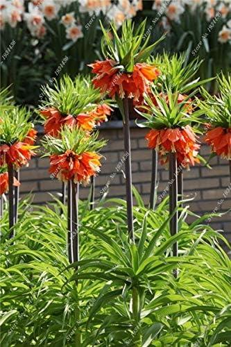 AGROBITS 50 PC/Bolso Corona Imperial Fritillaria Imperialis Premier fácil de Cultivar jardín de la Cubierta de Tierra para jardín: 3: Amazon.es: Jardín