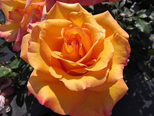 (Freddie Mercury - Bareroot Hybrid Tea Garden Rose Bush - Vibrant Orange/Apricot Blooms - Great Present for Queen Fans!)