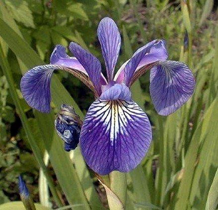 - Harlequin Blue Flag Iris 10Seed-Iris versicolor-Aquatic