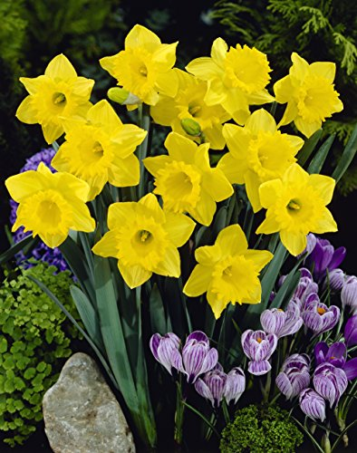 Trumpet Daffodil Mixture- 45 Perennial Yellow Daffodil Bulbs