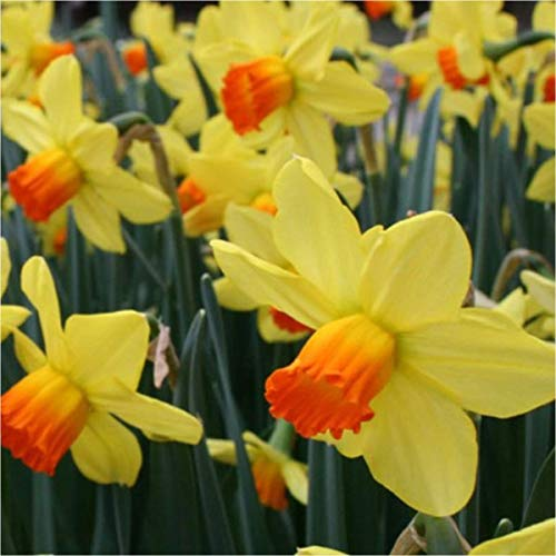 IDEA HIGH GARTHWAITE Nurseries: - 25KG Fortune Large-Cupped Daffodil/Narcissus Bulbs Yellow/Orange Hardy Perennial