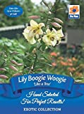 Lily Like a Tree Boogie Woogie, Flowers with a Yellow Centre Leading to a Peach Coloured Edge (2 Bulbs)